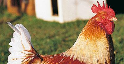 Le poulet fermier d'Auvergne