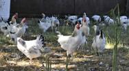 pb-coq-poule-ext
