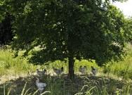 pb-poulets-arbre