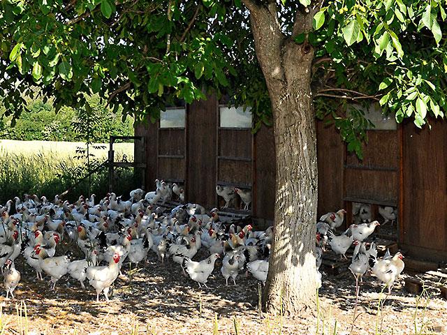 Elevage de poulets bourbonnais